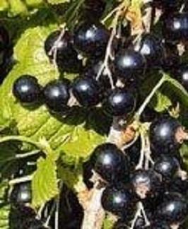 06a ribus nigrum titania.jpg